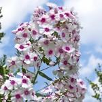 phloxpaniculata